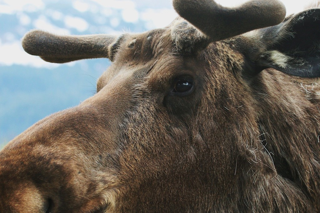 photo of a moose's face